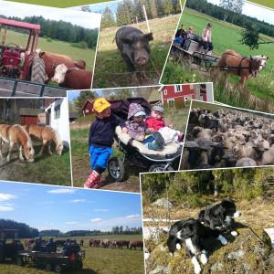 Bilder på gårdens djur och barn som är småbönder.