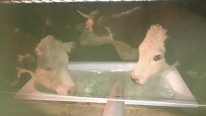 Kossorna från vatten