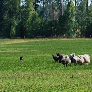 Vallhundstävling i Fallängetorp, norra Västmanland.